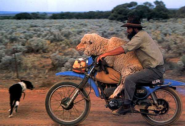sheep on a motorcycle