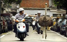 ostrich chased by motorcycle police