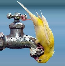 yellow bird sticks head in faucet
