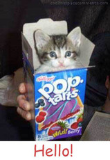 hello cat in pop tarts box