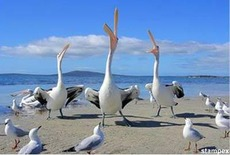 pelicans and seaguls